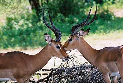 leben giraffen im regenwald